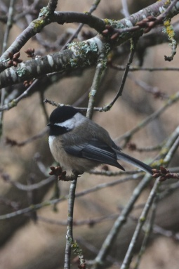 black-capped_chickadee_b