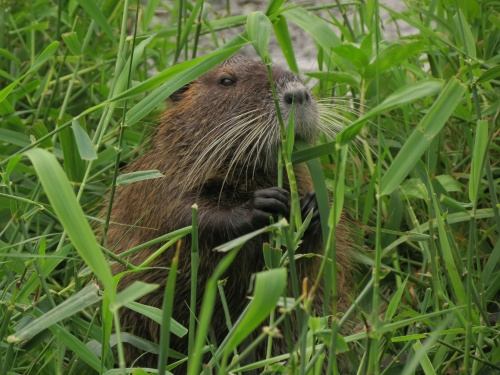 Click to view OPB- OR Field Guide: Nutria