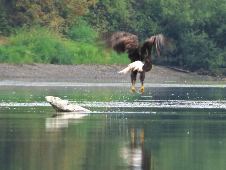 JaneWilson_Ash_Slough_Eagle