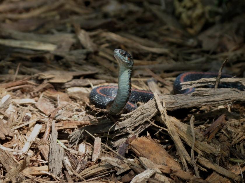 06-15-13_rep_northwestern_garter_snake_e