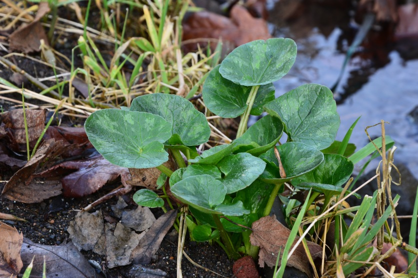 January 14, 2014 Lesser Celandine Ranunculus ficaria