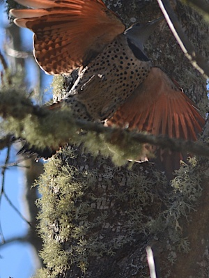 Northern Flicker taking off in flight