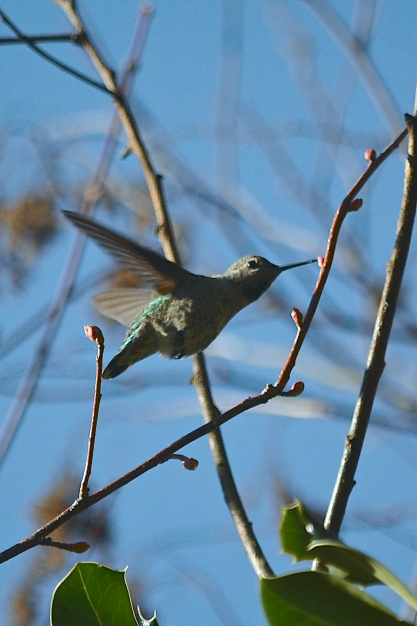 Anna's Hummngbird
