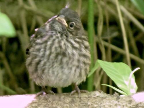 06-05-13_b_song_sparrow_d