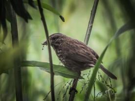 20130526-05-26-13_b_song_sparrow_f