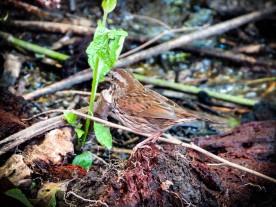 20130531-05-31-13_b_song_sparrow_b