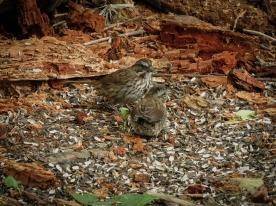 20130619-06-19-13_b_song_sparrow_d