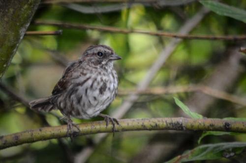 20130830-08-30-13_b_song_sparrow