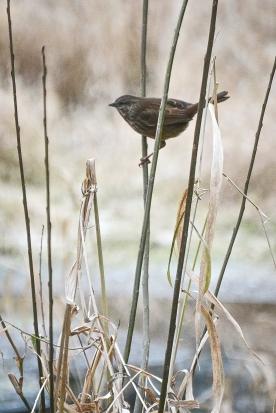 20131209-12-09-13_b_song_sparrow_b