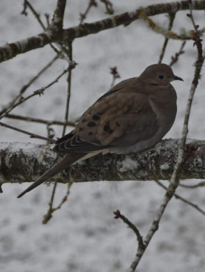 Dove hunkered down in the cold... we have upped our efforts to put seed out for the birds.