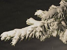 Snow falling on fir-tips