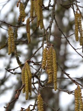Hazelnut- male catkins developing
