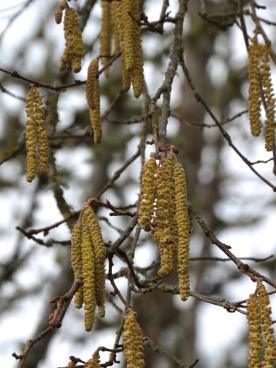 Hazelnut- male catkins developing