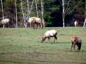 Adolescent males grazing on grass