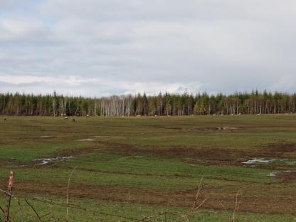 Herd grazing at far end of field near tree-line