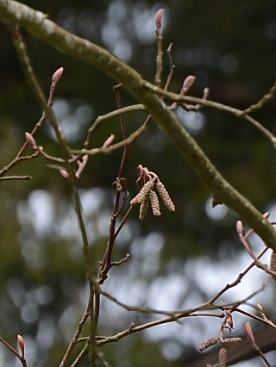 Red Alder- male catkins emerging