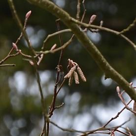 Red Alder- male catkins emerging