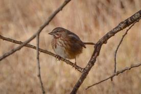 Song Sparrow_12_02_13a