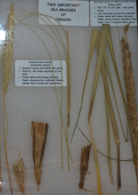 European Beach Grass (Ammophila arenoria) and American Dune Grass (Elymus mollis)