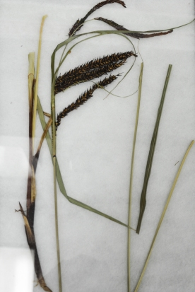 Slough Sedge (Carex obnupta)- marshes, swamps, bogs, stream-banks. Popular basket-weaving material- often with cedar foundations and intricate designs from dyed strands of grass or colored barks.