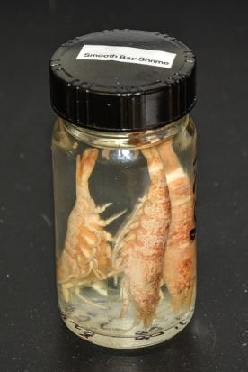 Smooth Bay Shrimp