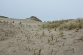 Dune Ridge. Ridge remnants of other dune forms that have been completely stabilized by vegetation. (Weidemann) Pictured here- small plant: American Beach Grass. Denser, larger plant: European Beach Grass.