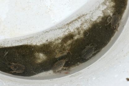 two mole crabs, one amphipod