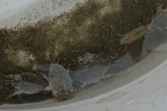 mole crabs/amphipod