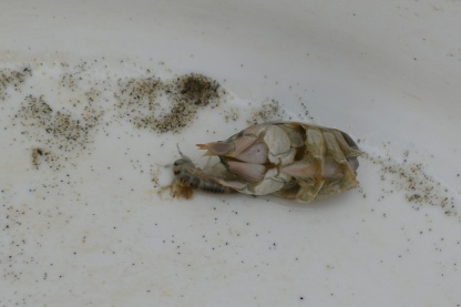 Amorous amphipods