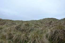 European Beach Grass