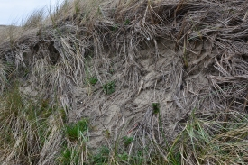Root system of European Beach Grass