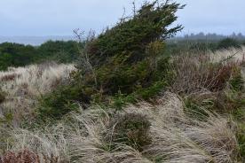 Coastal Juniper