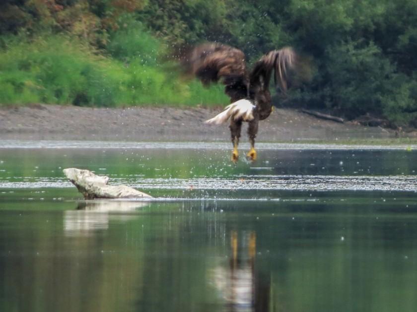 Bald Eagle - Ash Slough Paddle Trip