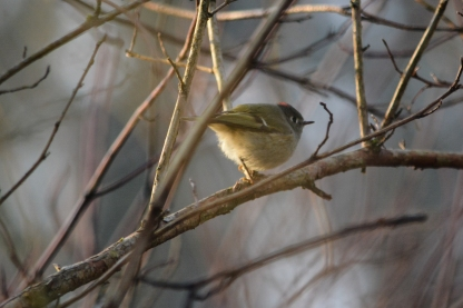 01-17-14_b_ruby-crowned_kinglet_a