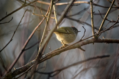 01-17-14_b_ruby-crowned_kinglet_male