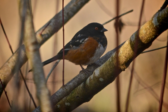 01-17-14_b_spotted_towhee_a copy