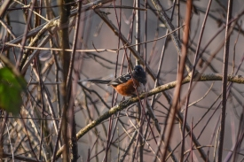 01-17-14_b_spotted_towhee_a