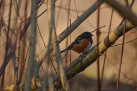 01-17-14_b_spotted_towhee_e