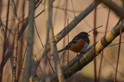 01-17-14_b_spotted_towhee_f
