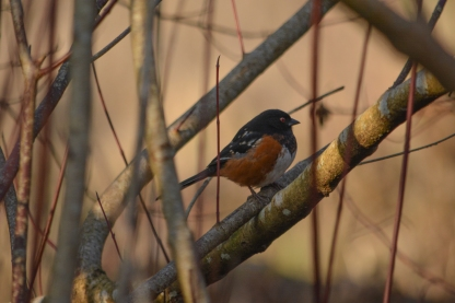 01-17-14_b_spotted_towhee_j