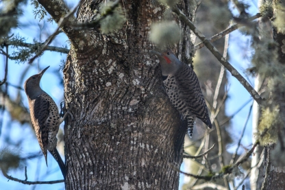01-23-14_b_northern_flicker_n