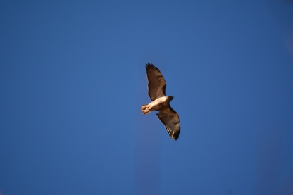 01-23-14_b_red-tailed_hawk_a