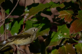 01-23-14_b_ruby-crowned_kinglet_10