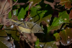 01-23-14_b_ruby-crowned_kinglet_11