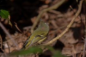 01-23-14_b_ruby-crowned_kinglet_12