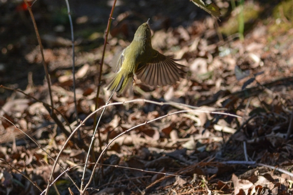 01-23-14_b_ruby-crowned_kinglet_5