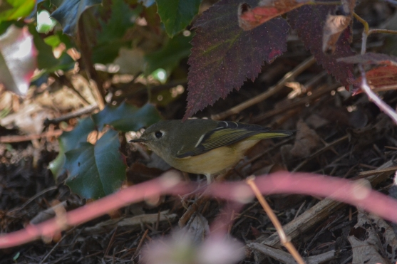 01-23-14_b_ruby-crowned_kinglet_8