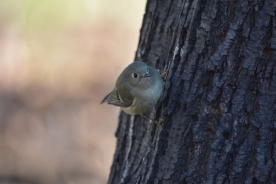 01-23-14_b_ruby-crowned_kinglet_a