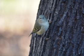 01-23-14_b_ruby-crowned_kinglet_b