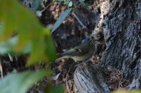 01-23-14_b_ruby-crowned_kinglet_d